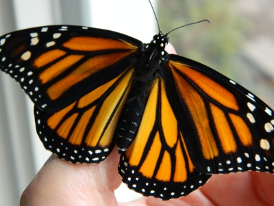 female monarch ready for release