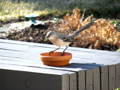Mary Mockingbird (AKA Miss Piggy) at her feeder