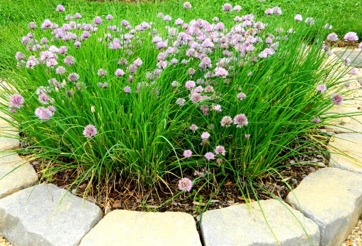 chives in my garden