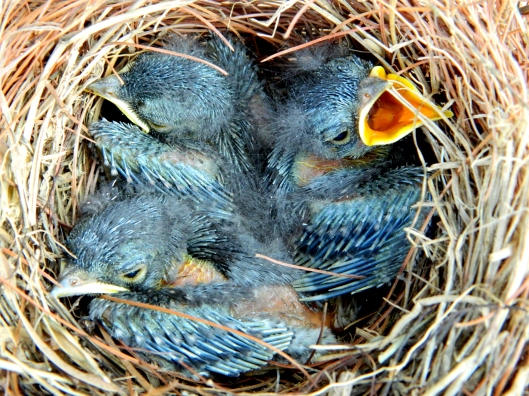 nestling bluebirds day nine ~ Swallowtail Cottage. Would you feed them GMO food?