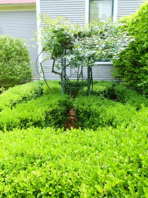 oh the boxwood