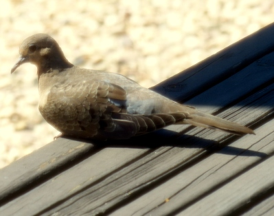 a dosing dove sits just outside my kitchen door, perhaps enjoying the aromas