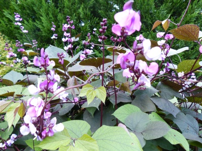 Late summer show stopper ~ hyacinth bean.