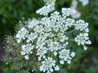 Queen Ann's Lace. A must for my garden. Have I recited its poem?