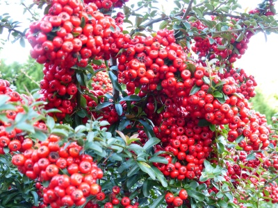 Loaded with fall berries ~ pyracantha, a real sticker as the genus belongs to the Rose Family, yet showy and berries are bird food.