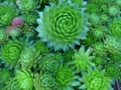 Sedum family ~ a low succulent plant that I consider bullet proof. A joy in the garden.