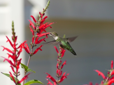 My first attempt at photographing hummingbirds. They were perfectly poised.