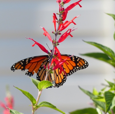 slightly tattered Monarch during migration. So glad it found my garden for rest and nectar while on its journey. Monarchs are in dramatic decline.
