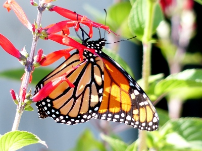 Another Monarch during migration. So nice to share my afternoon with numerous survivors.