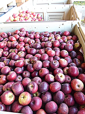 tons more apples