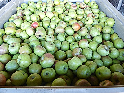 tons of apples at Albemarle cyder works