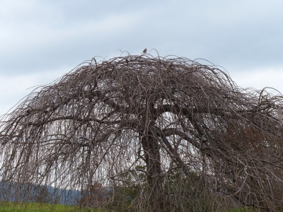 notice atop this barren tree at the golf course, a lone mockingbird marks her territory against the winter sky