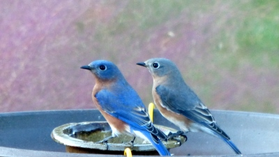 Virginia bluebirds dine at LaSauce buffet