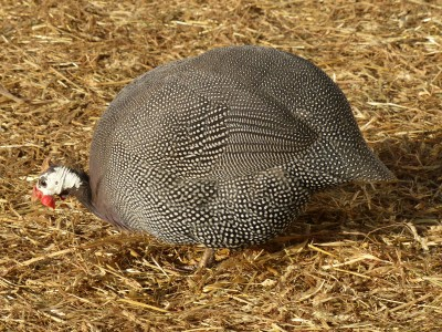 oh so pretty guinea hen ~ Nature had a creative brush when this bird was created.