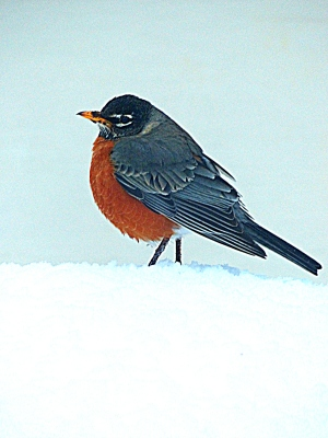 Turdus migratorius ~ or the American Robin