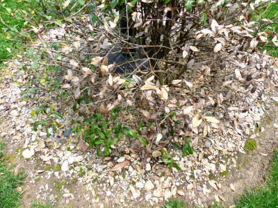 the original circle was topped with pea gravel and river rock, and this holly was a volunteer.