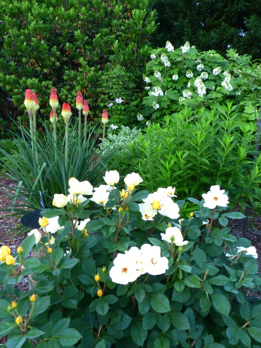 Sunny rose in first flush, Red Hot Poker, Oakleaf Hydrangea, clematis, all in bloom this week. Nice!