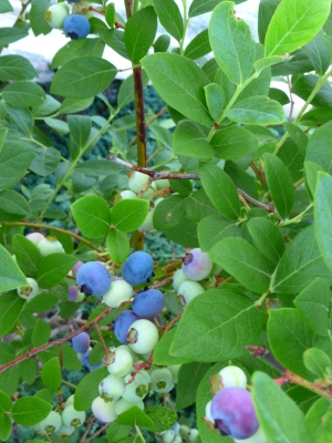 O'Neil variety of highbush blueberry. Three deliver all the berries I can eat in one season