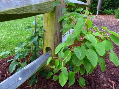 I was looking for a vine to replace the Concord Grape on this split rail, and voila! Arctic Kiwi manifested. I cannot wait for this fruit next year!