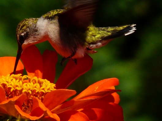 Lucky shot this morning. This little hummer decided my zinnia/tomato bed is the perfect place to sun and snack.