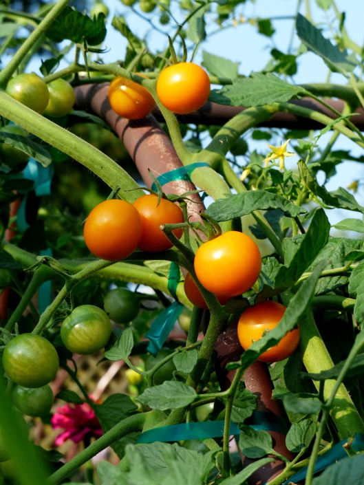 indeterminate cherry tomatoes ~ plumb and tasty