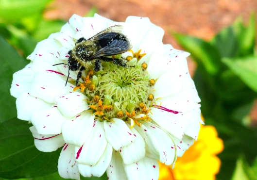 baby bumblebee works at pollinating...