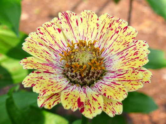 have I mentioned that zinnias are my favorite annual?