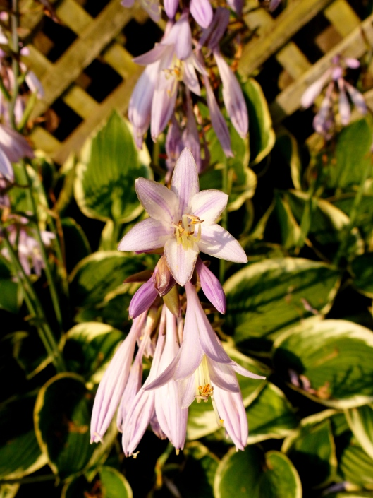 let's not forget the hardy yet delicate hosta bed