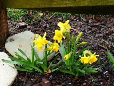 These petite daffs are my favorite early spring bloomers