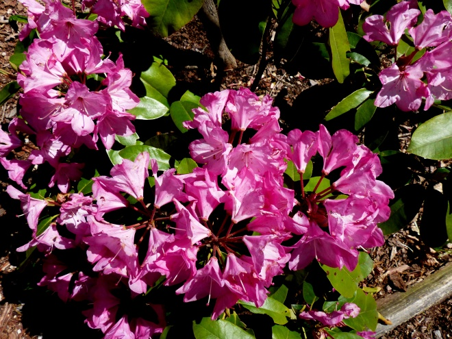 a rhododendron blushes at peak
