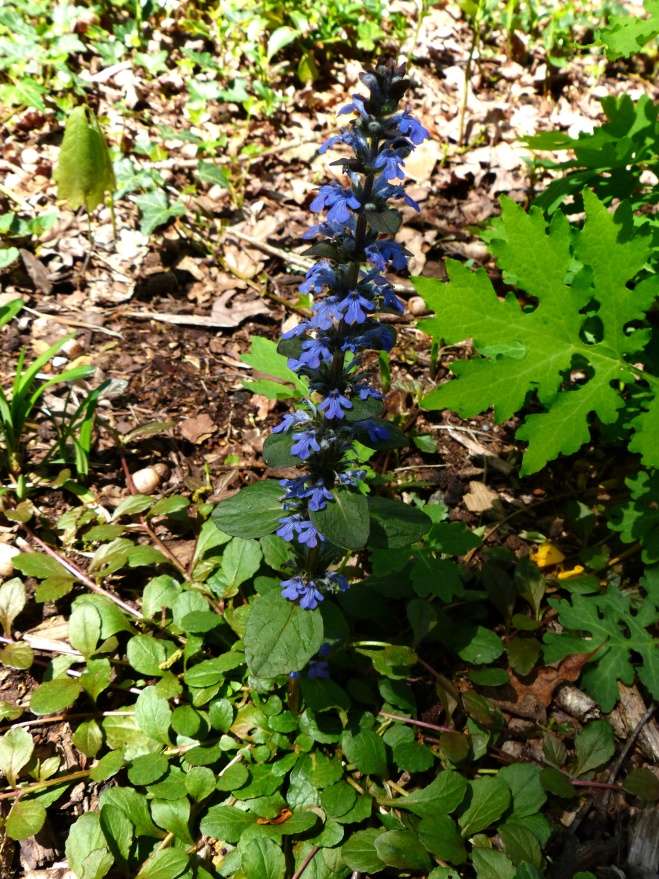 blue is a rare find in any garden, and this plant is especially desirable