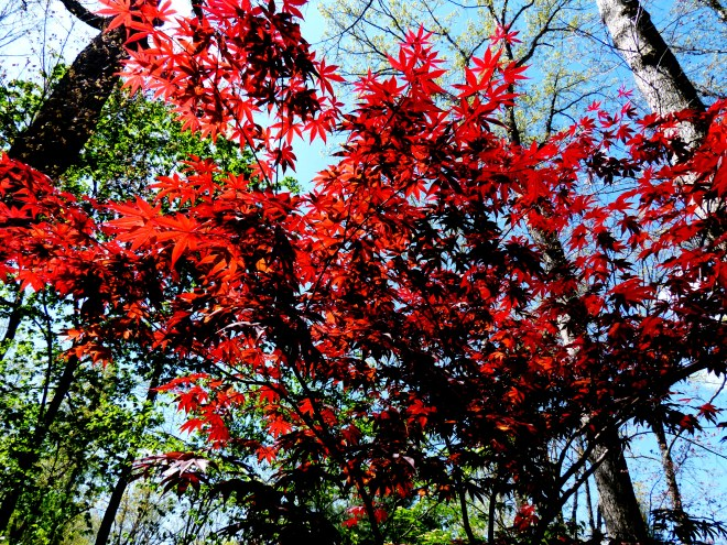 this maple is breathtaking along another path