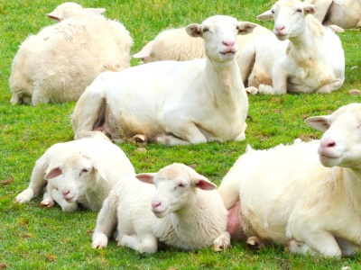 a flock of White Dorpers from Africa and their soft and cuddly babes enjoy the bounty at Moss Mountain Farm