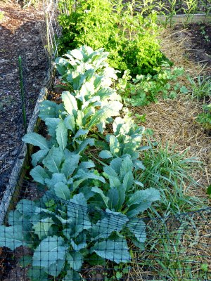 it all really begins here; this 5X12 raised bed produces much fresh food and kale is an early/cool crop