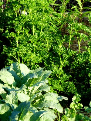 since parsley winters over, this healthy stand not only goes into pesto, but a handful will go into today's smoothie