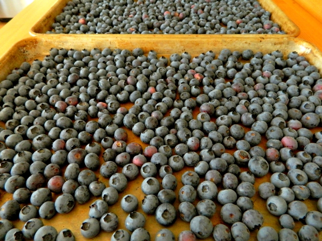 After harvesting in the early morning, I place the unwashed fruit on a sheet pan and let them rest at room temperature for twenty-four hours. Any unripened berries will continue to ripen, and of course, I can snitch a handfull as I go by during the day! As the fruit ripens, I place in glass jars in the freezer. I am not a fan of plastic...