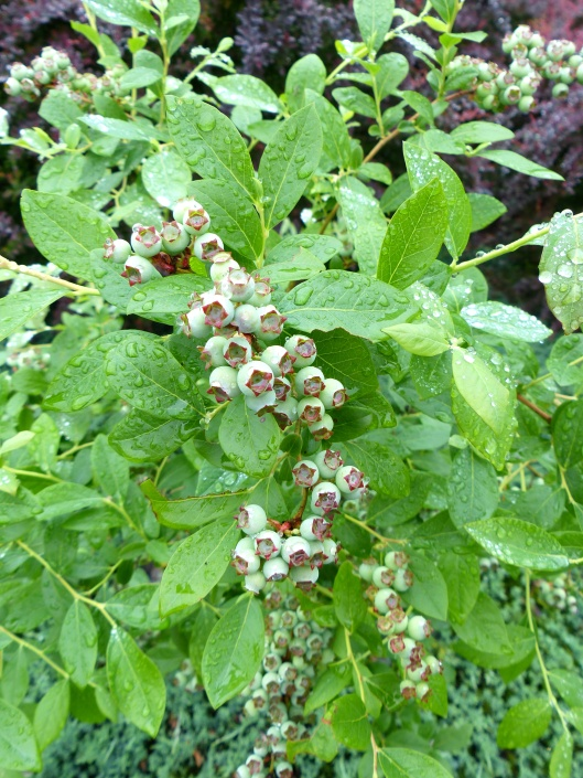 O'Neil blueberries beginning to ripen