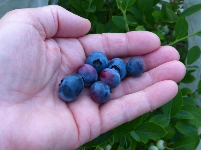 O'Neil blueberry variety is my favorite here in my gardens. Large, juicy fruit greets me every day for nearly one month in June.
