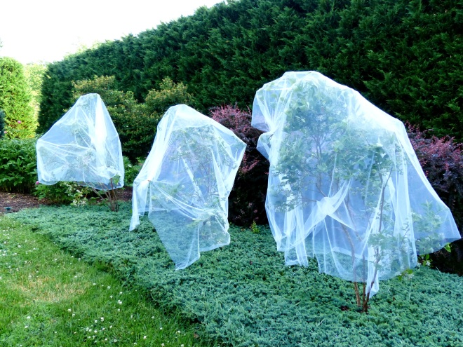 This year I draped the blueberry plants in tulle and used clothespins to hold in place. Much improved method over bird netting. This idea was shared by a good garden friend. What do they remind you of? Ghosts or runaway brides?