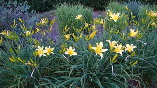 Lemon lilies in the lower garden