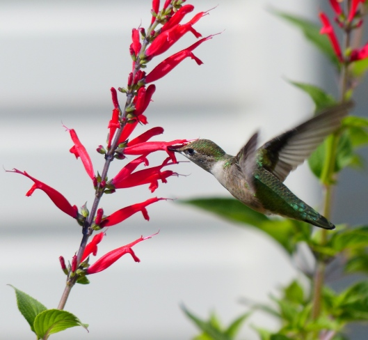 in 2014 the hummers enjoyed sips from the pineapple sage...