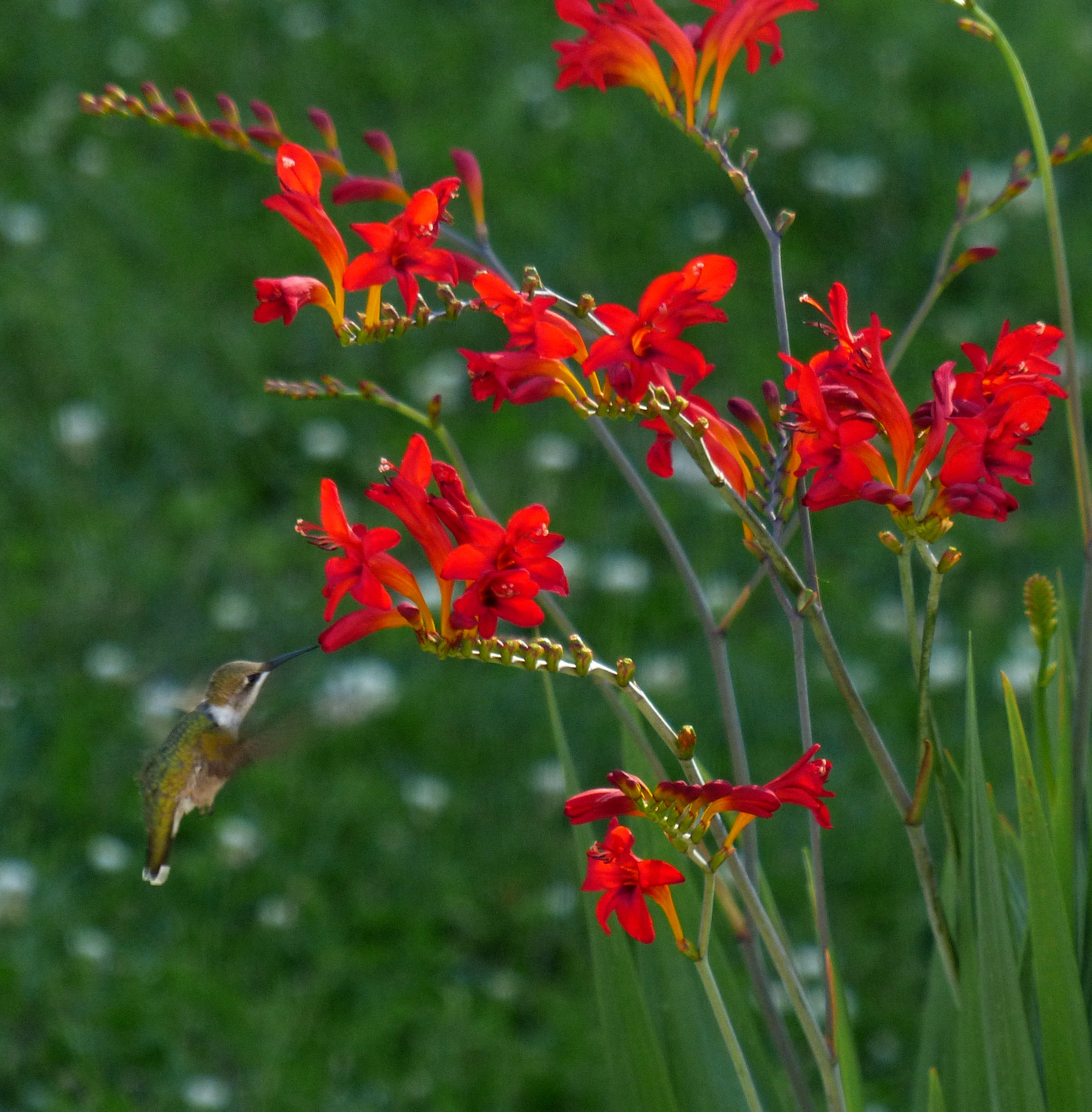 hummer enjoys a sip from the crocosmia in the kitchen herb garden