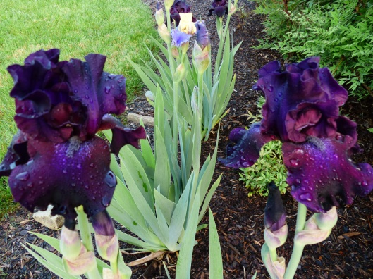 these Iris graced my gardens this year. Another rescued beauty who now enjoyes life here