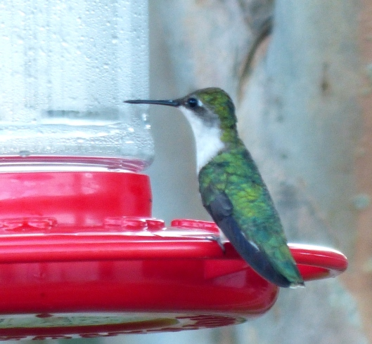 Hummers enjoy the convenience of a perch design on this sugar syrup feeder in 2015