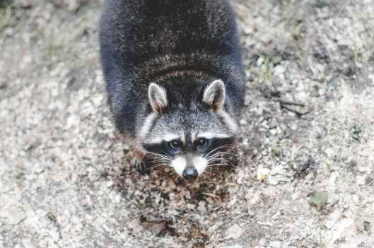 animal whiskers raccoon