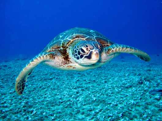 photo of hawksbill sea turtle