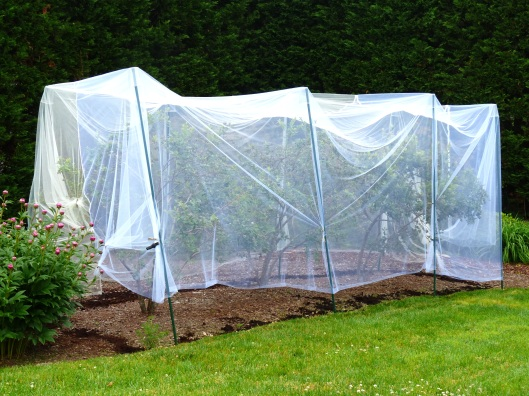 Soon blueberry harvest...new tulle guard in place. Peonies are chin high.